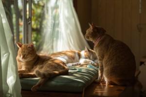 窓辺のカーテンと猫