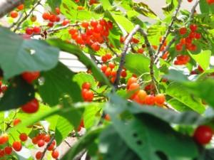 暖地桜桃?2