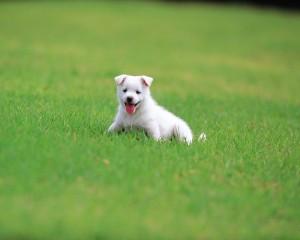舌を出す白犬