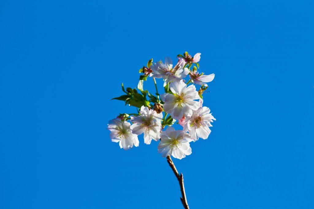 快晴の下の十月桜