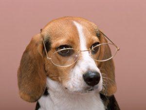 眼鏡ビーグル