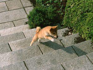 階段を駆け上がる柴犬
