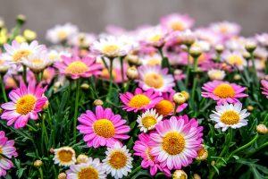 白・ピンク系の菊