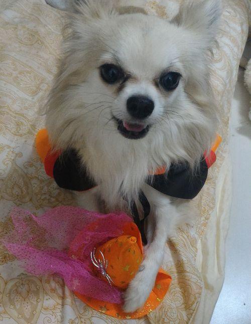 ハロウィン仮装で勝ち誇る犬