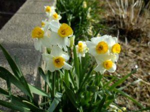 水仙の花たくさん