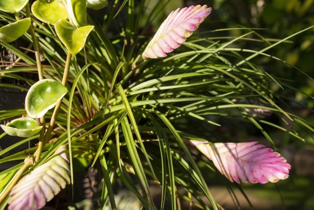 印象的な花が咲いたエアプランツ
