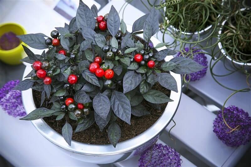 オニキスレッドの鉢植え