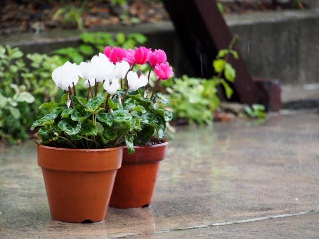 シクラメンの植木鉢2つ