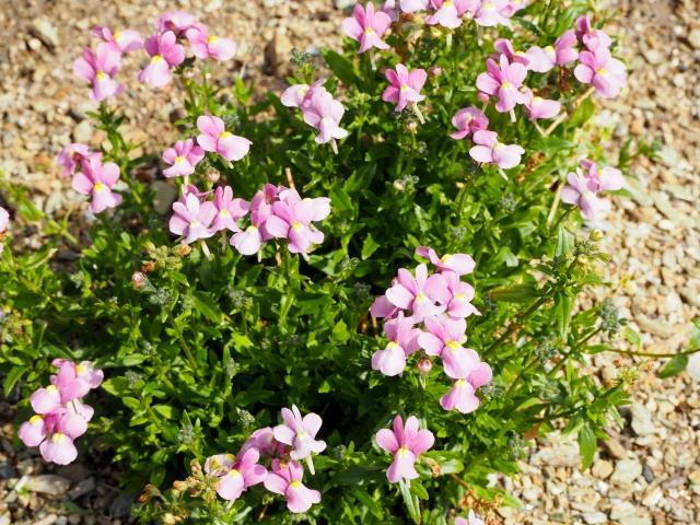 薄ピンクの地植えネメシア