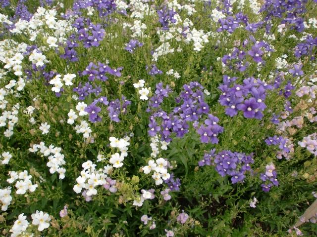 白と紫のネメシア