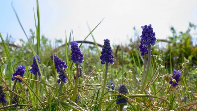草原のムスカリ