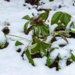 雪に埋もれたクリスマスローズ