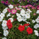 たくさん咲いたペチュニア