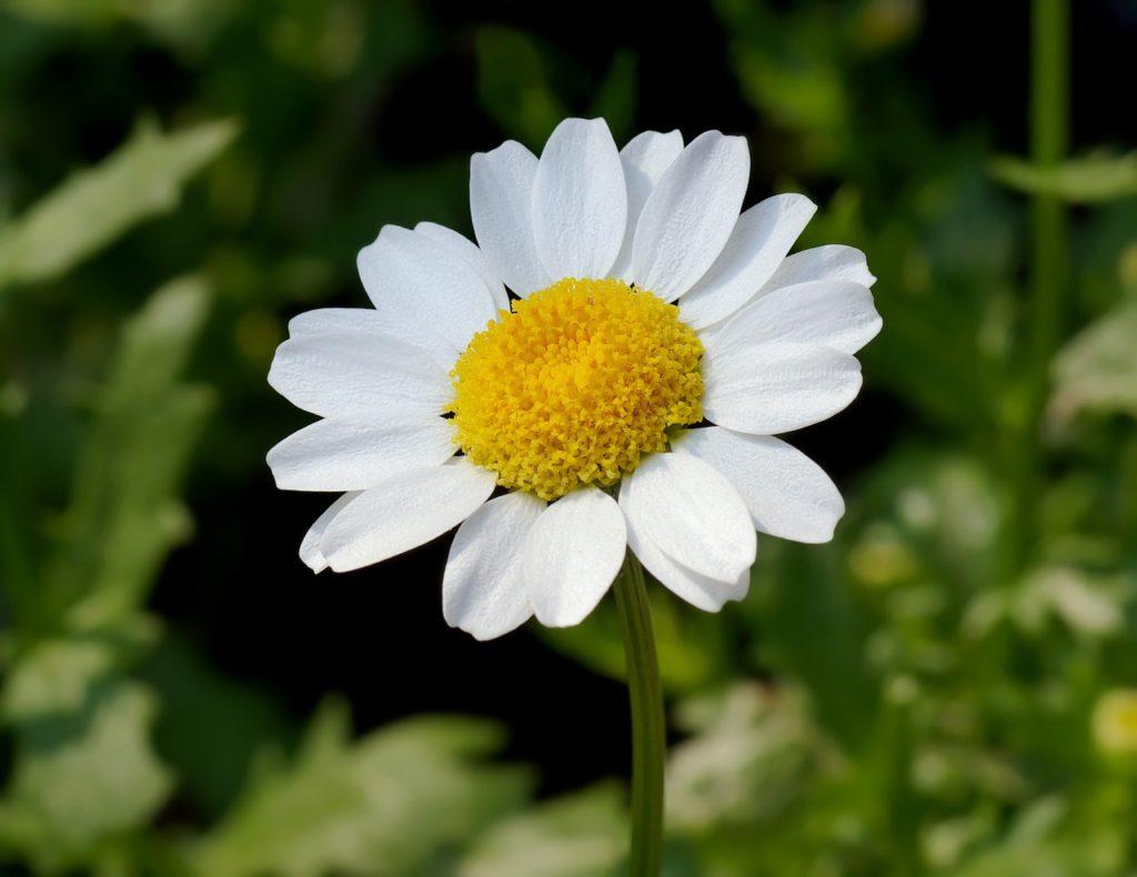 ノースポールの花アップ