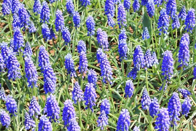 咲き誇るムスカリ